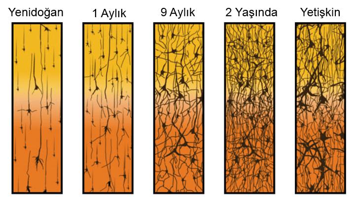 ŞEKİL 1: Zaman İçerisinde Nöron Büyümesi ve Bağlantıları